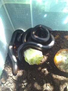 Giant African Train Millipedes